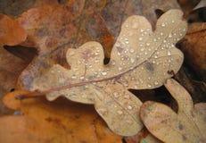 橡木和液体小滴照片宏观秋天叶子  免版税库存图片