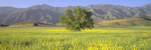 橡木和芥末在绿色领域和院长在上部Ojai谷锐化,加利福尼亚 图库摄影