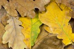 橡木和菩提树联合国一片五颜六色的秋天叶子的特写镜头照片  免版税库存图片