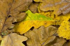 橡木和菩提树联合国一片五颜六色的秋天叶子的特写镜头照片  库存图片