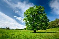 橡木唯一结构树 库存图片
