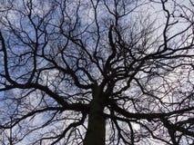橡木在冬天 免版税库存图片