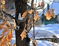 橡木在树留给冻 免版税库存照片