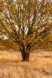 橡木在秋天礼服的一个草甸站立 库存照片