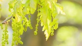 年轻橡木在风把摇动留在 影视素材