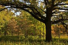 橡木大草原结构树 库存照片
