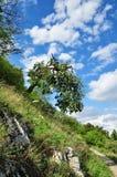 橡木天空结构树 库存图片
