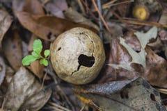 橡木孵化的黄蜂胆汁 库存照片