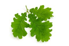 橡木小树枝与三片叶子的在白色背景 库存照片