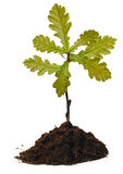 橡木小的结构树 免版税图库摄影