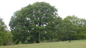 橡木提供援助的Duir接受天 免版税图库摄影