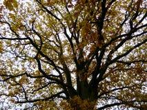 橡木摘要Autum金黄叶子树上面  免版税库存图片