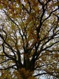 橡木摘要Autum金黄叶子树上面  库存照片
