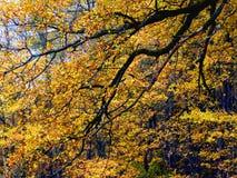 橡木摘要Autum金黄叶子树枝  免版税库存图片