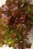 橡木散叶莴苣 免版税库存照片