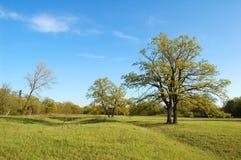 橡木春天结构树 库存照片