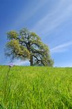 橡木春天结构树 免版税库存照片