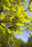 橡木栎属robur 免版税库存图片