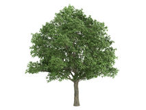 橡木栎属robur 免版税库存照片