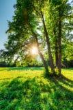 橡木树在一个领域的与绿草和太阳在日落 免版税库存照片
