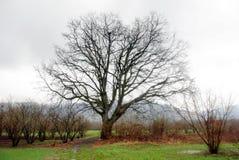 橡木树干 免版税图库摄影
