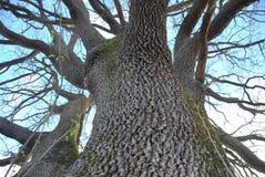 橡木树干 免版税库存图片