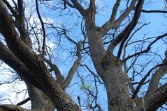 橡木树干 图库摄影