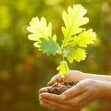 橡木树苗在手上 库存图片