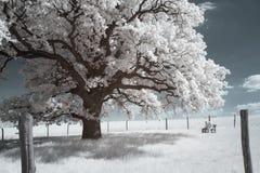 300年橡木树 免版税库存照片