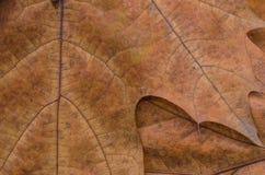 橡木棕色秋叶堆 免版税图库摄影