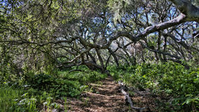 橡木森林道路 库存照片