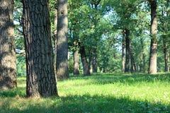 橡木森林 免版税库存图片