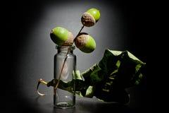 橡木橡子和叶子在玻璃锥体的在黑暗的背景 免版税库存图片