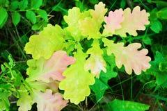 橡木生长在森林草丛的栎属树苗 年轻橡树叶子顶视图 免版税库存图片