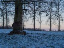 橡木白杨树和槲寄生 库存图片