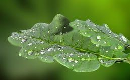 橡木的两片年轻绿色叶子与雨珠的 免版税库存图片