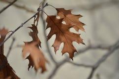 橡木的冬天叶子 免版税库存照片