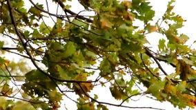 橡木的凋枯的叶子 影视素材