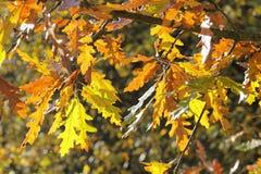 橡木的秋季叶子孔特尔jour照片  免版税库存图片