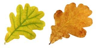 橡木秋叶在白色背景的 免版税库存照片