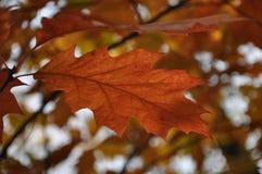 橡木秋天叶子 库存照片