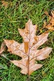 橡木秋天叶子 免版税库存图片