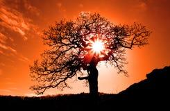 橡木老日落 免版税图库摄影