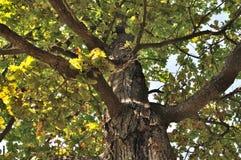 橡木老树干 免版税库存图片