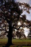 橡木老结构树 免版税库存照片