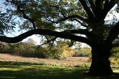 橡木老结构树 库存照片