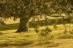 橡木老结构树 免版税库存图片