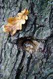橡木老视域 免版税库存照片