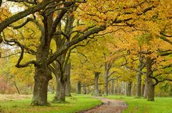 橡木胡同在公园 免版税图库摄影