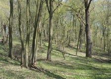 橡木角树木头在春天 图库摄影